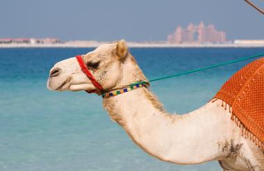 A camel ride in the Bedouin camp, Dubai